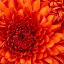 Medium chrysanthemum